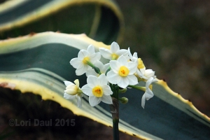 narcissus and variegated agave americana